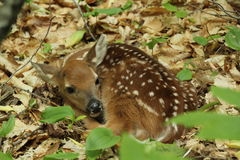 Whitetail Fawn Stock Afbeelding