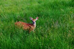 Whitetail Fawn Stock Photo