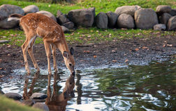 Whitetail fawn Royalty-vrije Stock Foto