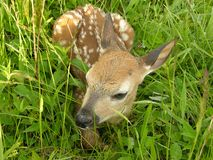 Whitetail fawn 3. Whitetail deer fawn lying down in a field stock photography