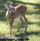 Whitetail fawn. Deer fawn that's on a grassy green field royalty free stock image