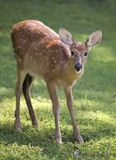 Whitetail fawn. On grass still in spots stock images