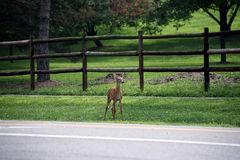 Whitetail Fawn Royalty Free Stock Photography