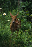 Whitetail Fawn. A whitetail fawn in fild of green vegetaiton and daisies Stock Photos