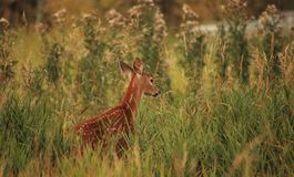 Whitetail Fawn. Beautiful whitetail fawn surrounded by tall, green vegetation Stock Images