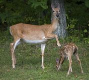 Whitetail fawn being disciplined Royalty Free Stock Photos