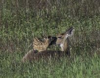Whitetail doe checking her fawn at dawn Royalty Free Stock Photography