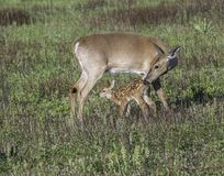 Whitetail doe checking on her fawn Stock Image