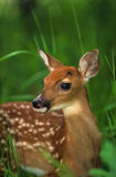 Whitetail Fawn Close Up Stock Images