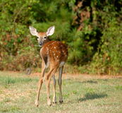 Whitetail fawn deer Stock Photos