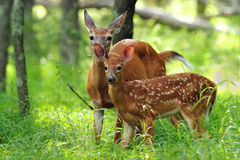 Whitetail Fawn and Doe Stock Photo