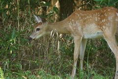 Whitetail fawn feeding on weeds. Stock Image