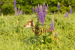 Whitetail fawn hiding behind lupine flowers Royalty Free Stock Photography