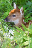 Whitetail fawn hiding in grass Royalty Free Stock Image