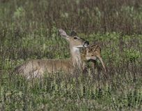 Whitetail doe licking her fawn Royalty Free Stock Photo