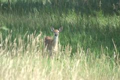 Whitetail Fawn. A little Whitetail Fawn is disrupted by me walking through the area royalty free stock photo