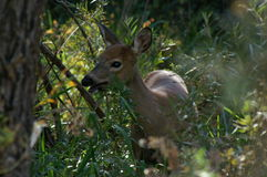 Whitetail fawn munching a weed. This little whitetail fawn is lunching on some weeds in the sun-dappled woods outside Basalt, Colorado stock photos