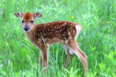 Whitetail fawn Royalty Free Stock Images