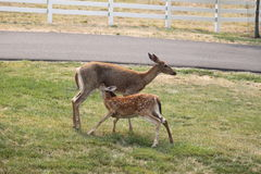 Whitetail Fawn Nursing Royalty Free Stock Images