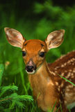 Whitetail Fawn Portrait Stock Photo