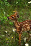 Whitetail Fawn Portrait Stock Images
