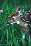 Whitetail Fawn Portrait. A whitetail fawnchecking out a pink flower Royalty Free Stock Photos
