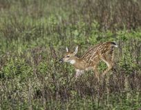 Young whitetail fawn running in the meadow Royalty Free Stock Image