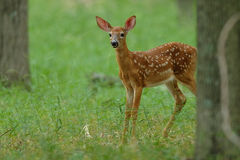 Whitetail Fawn staart royalty-vrije stock afbeeldingen
