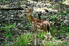 Whitetail fawn. White tail fawn feeding in beavers bend Royalty Free Stock Photo