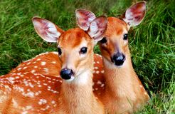 Whitetail Fawns Royalty-vrije Stock Foto's