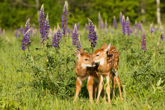 Whitetail fawns in lupine flowers grooming each other Stock Photography