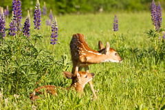Whitetail fawns in lupine flowers Stock Photography