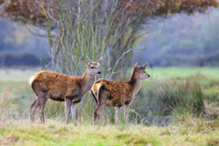 Whitetail fawns Stock Photography