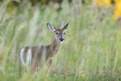 Whitetail female Stock Image