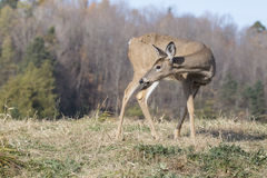 Whitetail female Royalty Free Stock Images