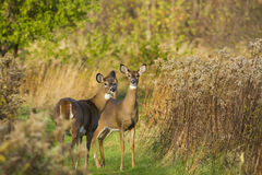 Whitetail females Royalty Free Stock Image