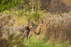 Whitetail females Royalty Free Stock Images