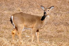 Whitetail ferido Foto de Stock Royalty Free