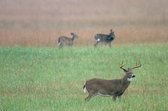 whitetail jeleni Obraz Royalty Free
