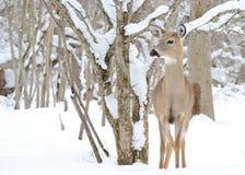 whitetail jeleni roczniak fotografia royalty free