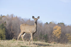 Whitetail kobieta Fotografia Royalty Free