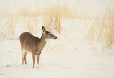 Whitetail królica w Montana śniegu obraz royalty free