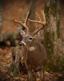 Whitetail Looking for Trouble Royalty Free Stock Images