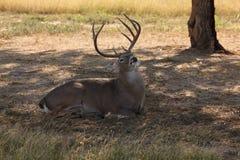 Whitetail męscy Rogacze Fotografia Royalty Free
