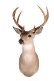Whitetail mount Royalty Free Stock Image