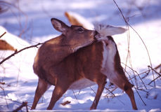 Whitetail portrait. Grooming whitetail doe in the snow stock photography