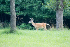 Whitetail rogacz wyszukuje w zieleni pola samiec w aksamicie obraz royalty free