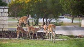 Whitetail rogacza łasowania kukurudza z jarda w Teksas wzgórza kraju zbiory