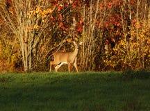 Whitetail rogacza jesieni kolory Obraz Royalty Free