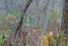 Whitetail rogacza samiec Zdjęcie Stock